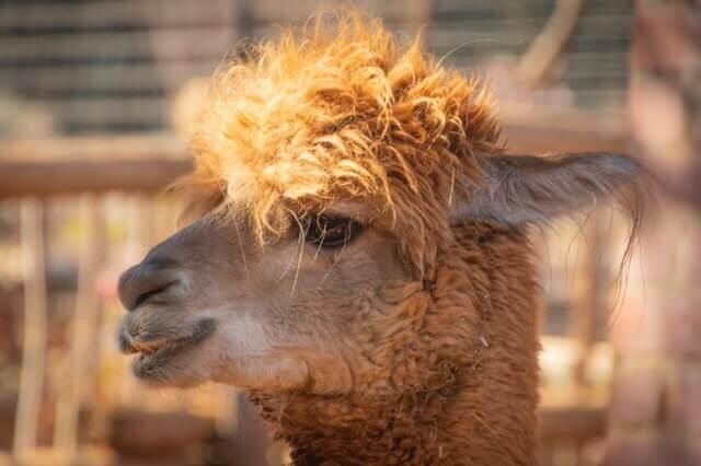 a brown llama
