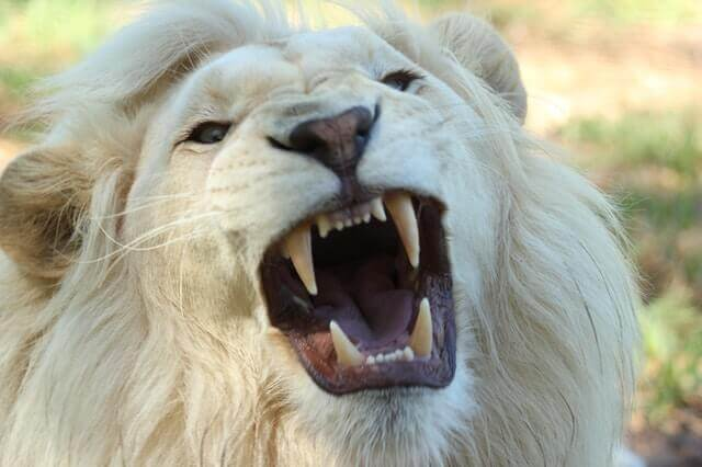 how much does a white lion cost