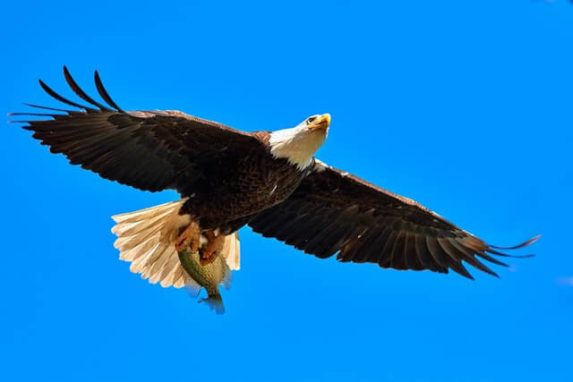 bald eagle holding the fish in its talons while flying