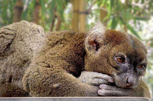 bamboo lemur lying on the ground