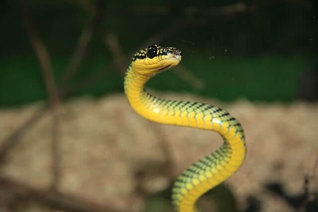 big green mamba snake