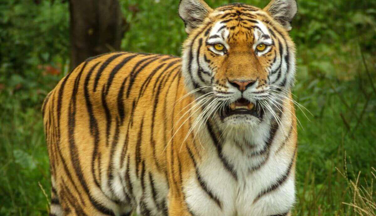 are tigers dangerous