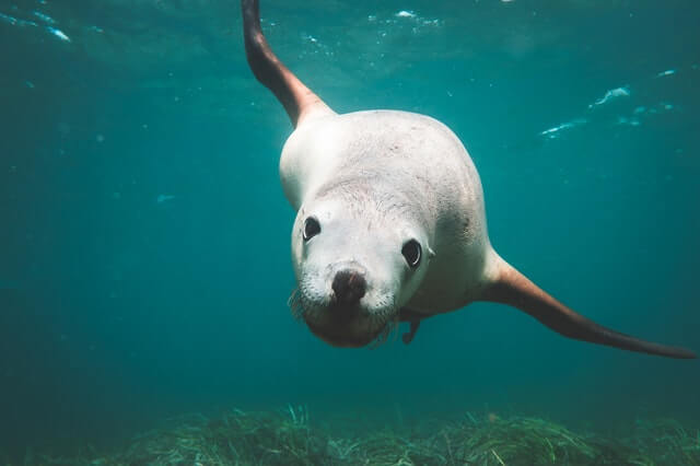 white sea lion swimming in the water