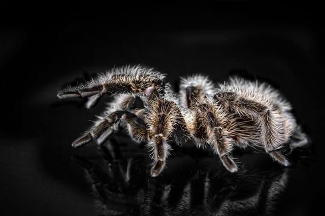 black and brown tarantula