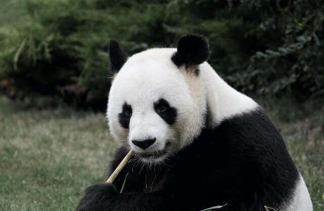 black and white panda eating bamboo