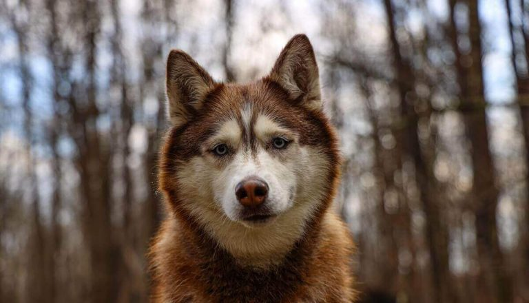 What is Female Wolf Called? (Luna Wolf and She-Wolf)