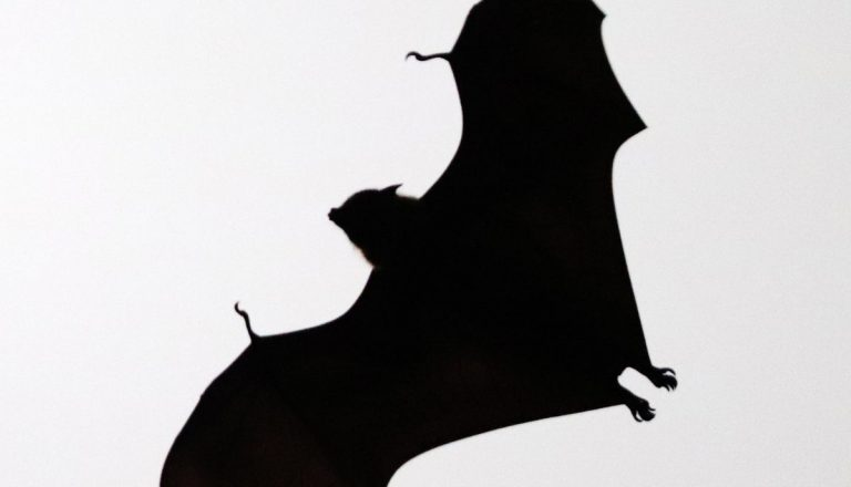 Do Bats Eat Mice? Some Species Yes, Here's How