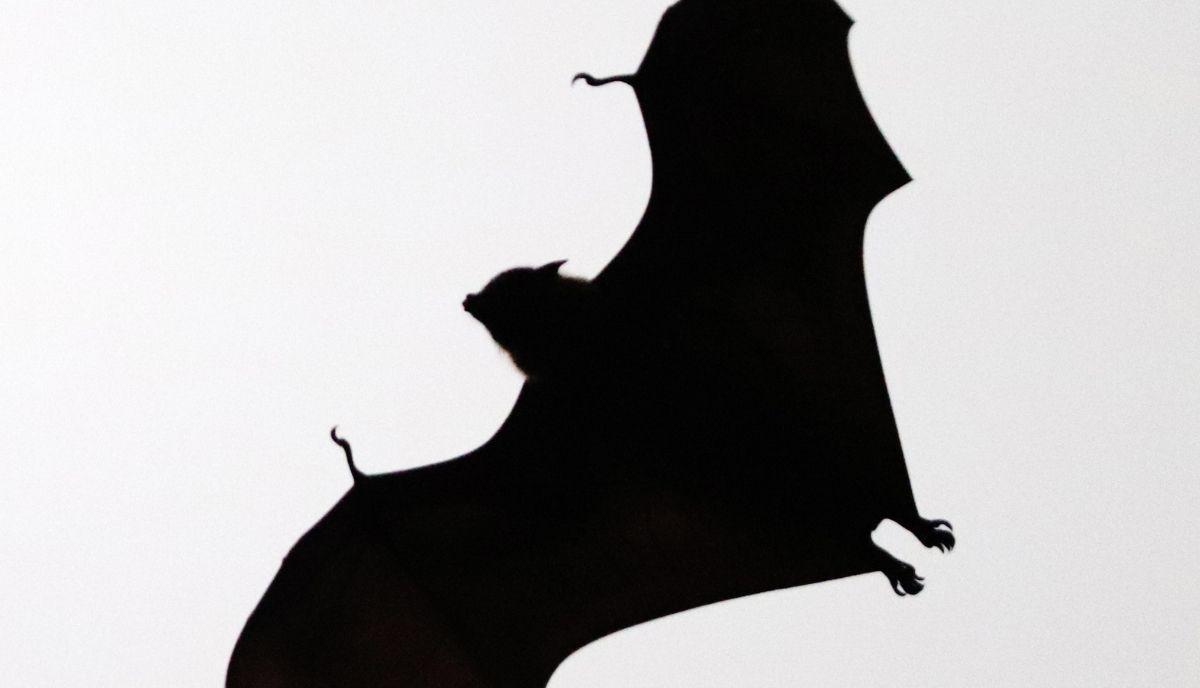 do bats eat mice