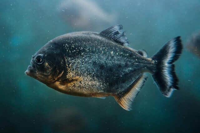 blue piranha swimming in the water
