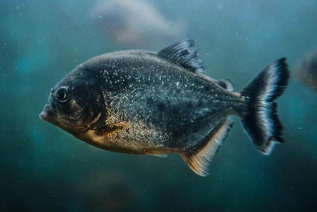 blue piranha swimming
