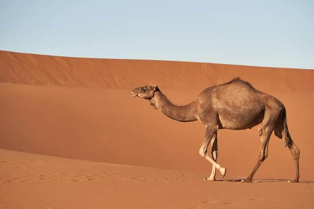 brown dromedary walking on desert