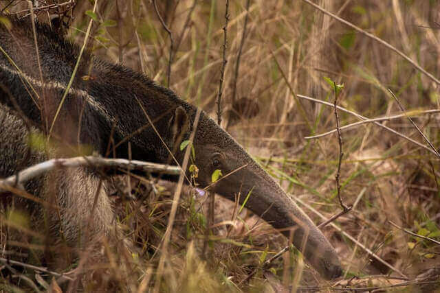 brown giant anteater in the wild