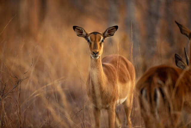 brown impala standing on a brown field