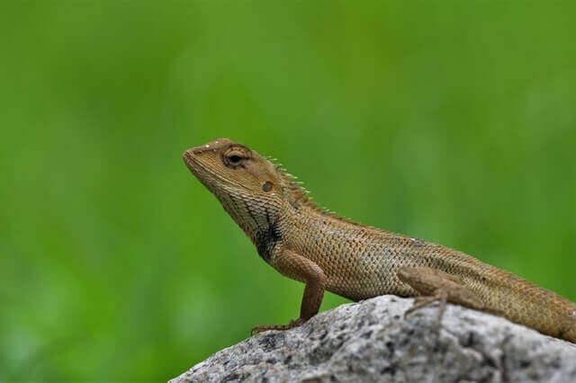 brown lizard standing on a rock
