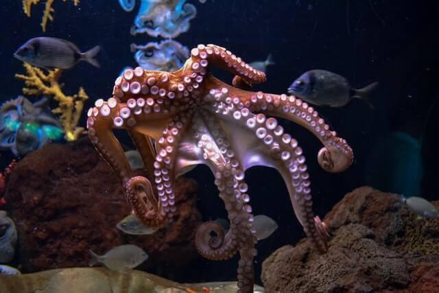 brown octopus in aquarium