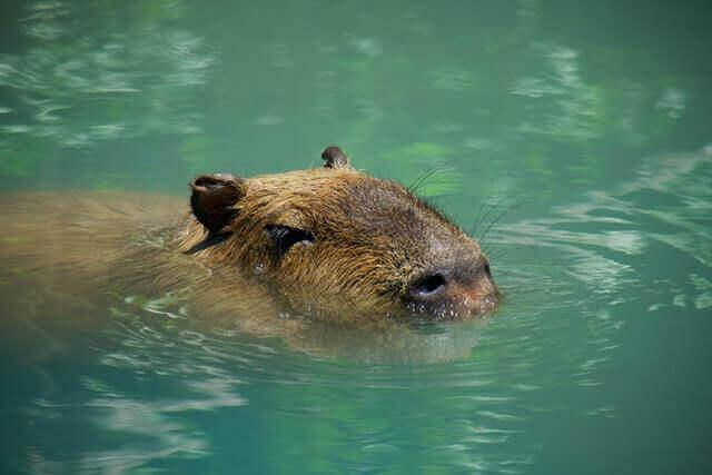 capybara swimming