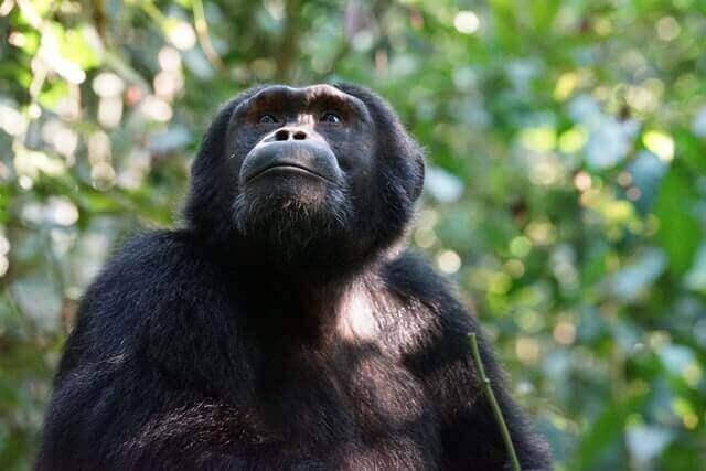 chimpanzee sitting on green tree