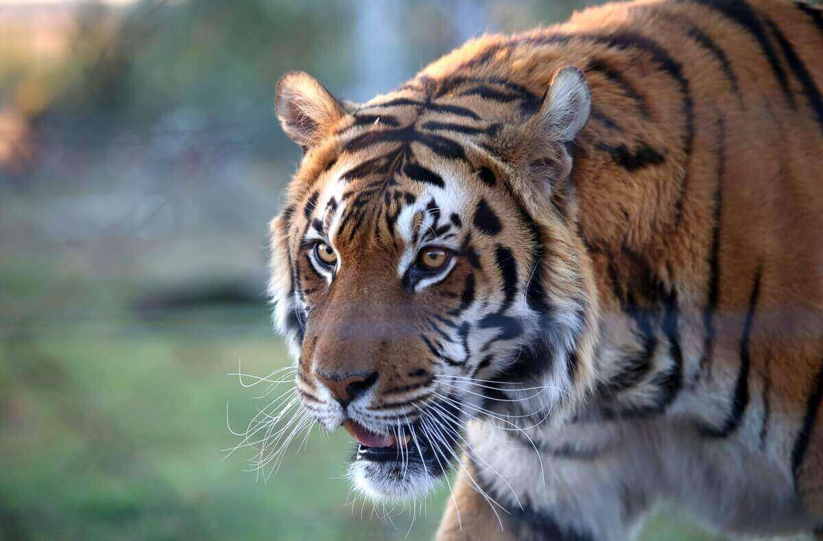 do tigers eat their young