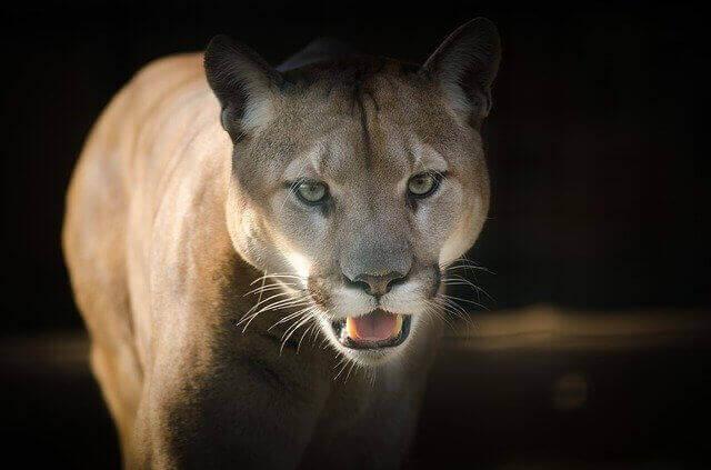 close up photo of cougar