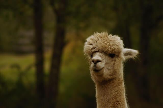 close up view of alpaca's head