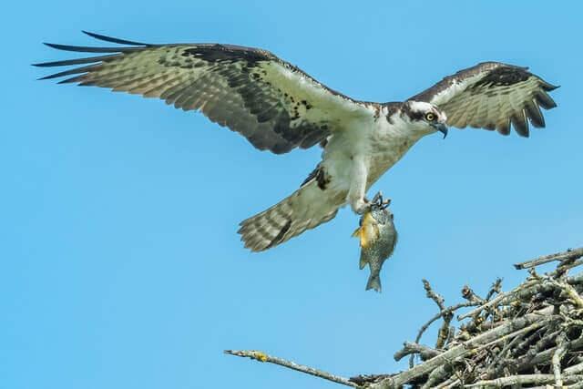 fish hawk holding fish in its talons