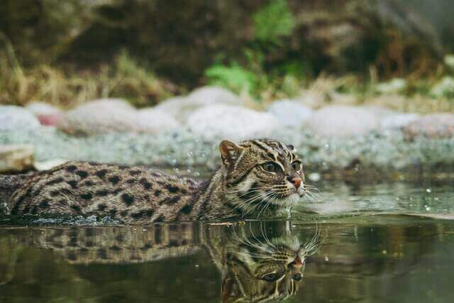 fishing cat walking in the water