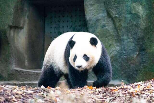 giant panda walking on the leaves