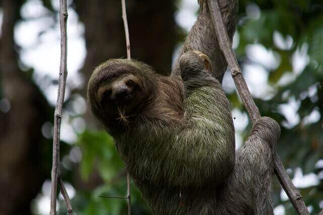 gray and brown sloth on a tree