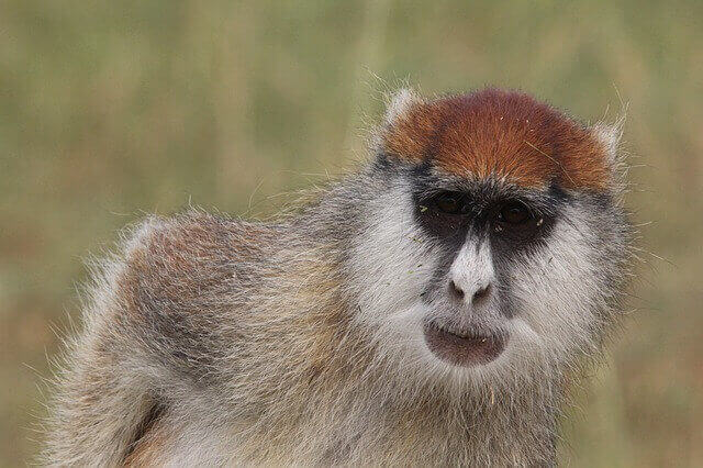 gray monkey with brown forehead
