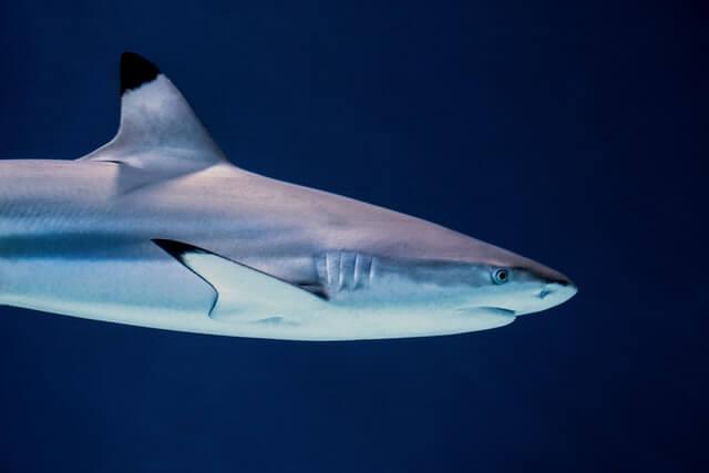 gray shark swimming underwater