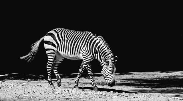 grayscale photo of black and white zebra