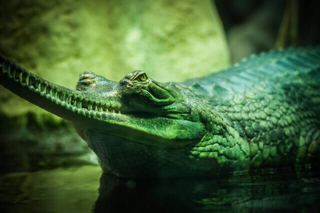 green crocodile with a long snout
