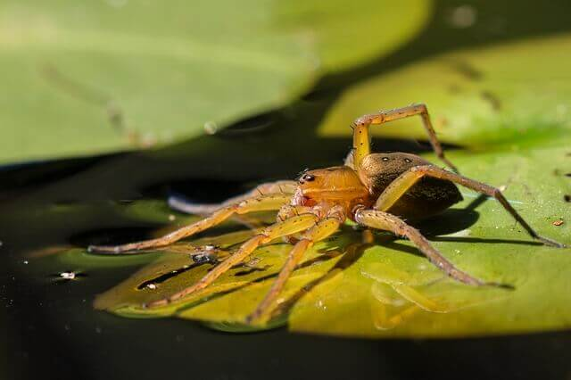 green fishing spider standing on a green leaf