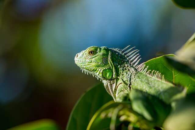 green iguana in trees