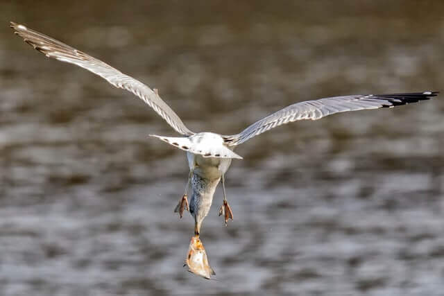 gull holding fish while flying