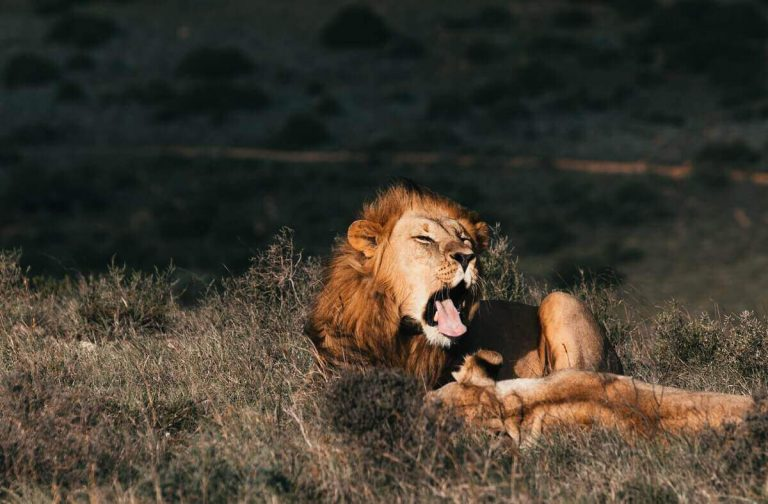 Why Do Lions Lick Their Prey? (Answered & Explained)
