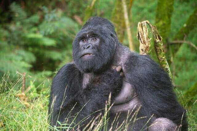 mountain gorilla sitting on a grass
