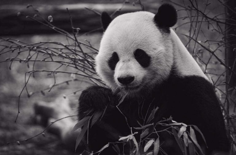 8 Animals That Eat Bamboo (With Pictures)