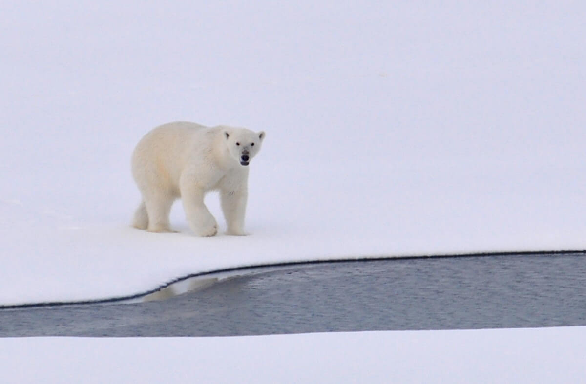 how strong are polar bears