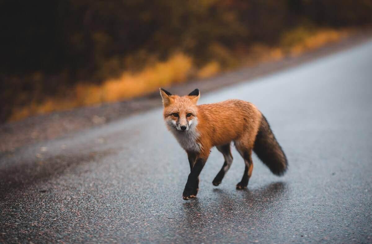 are foxes omnivores, carnivores, or herbivores