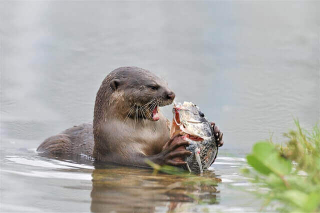 river otter eating fish in the water