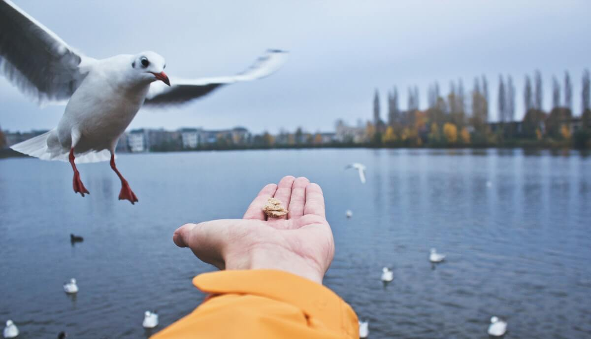 seagulls as pets