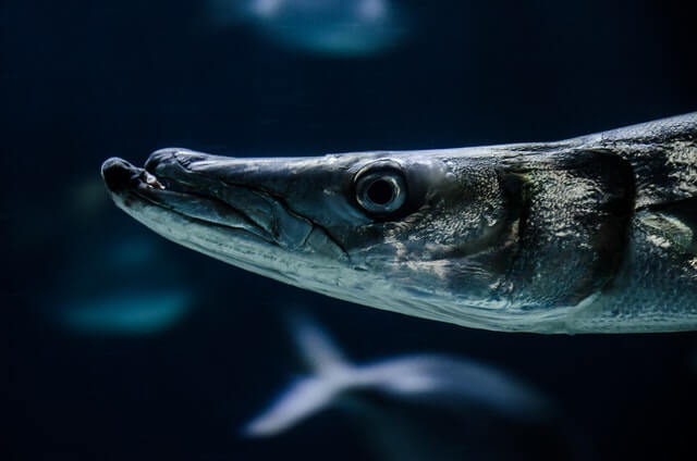silver barracuda in the water