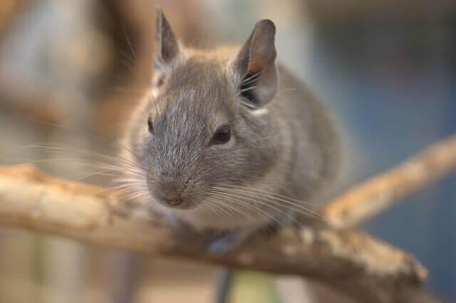 small rodent chinchilla