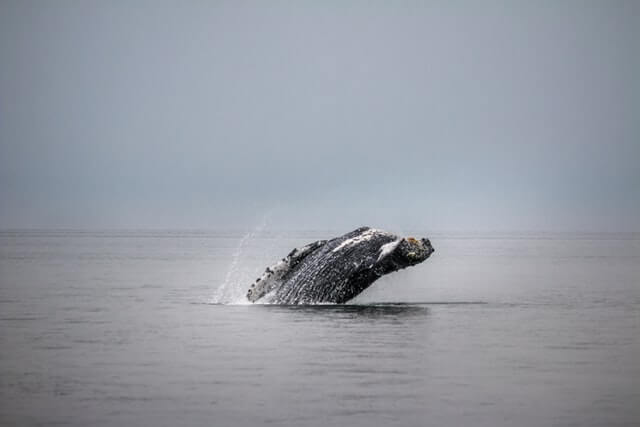 the baleen whale jumping from the water