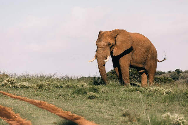 the brown elephant standing in a grass field