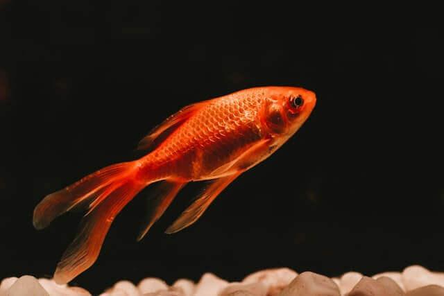 the goldfish swimming in an aquarium