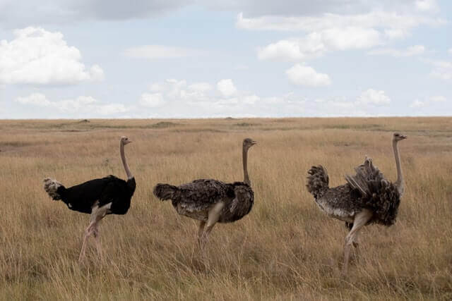 three ostriches standing on a field