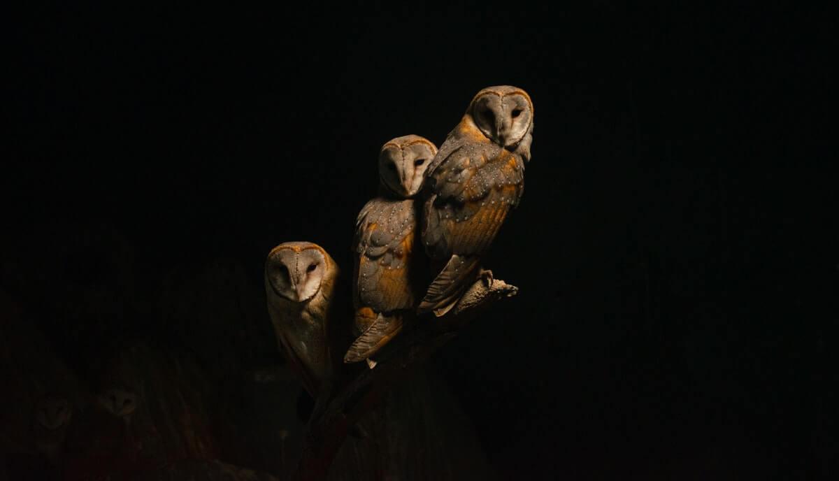 are owls dangerous