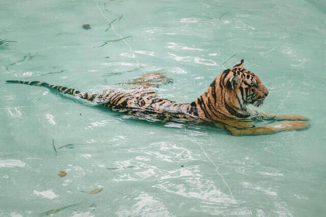 tiger resting in the water